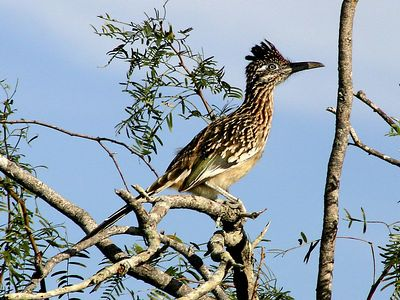 Greater Roadrunner - Laguna Atascosa NWR
