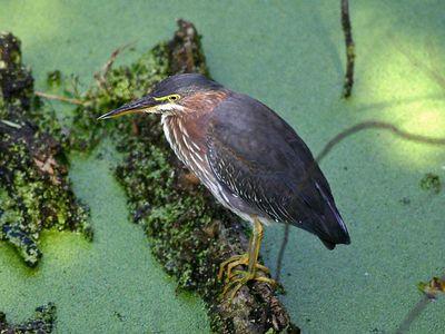 Green Heron - Laguna Atascosa NWR
