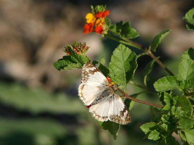 Laviana White - Audubon BF Gardens near Bentsen SP