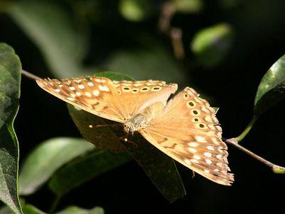 Tawny Emperor - Audubon BF Gardens near Bentsen SP