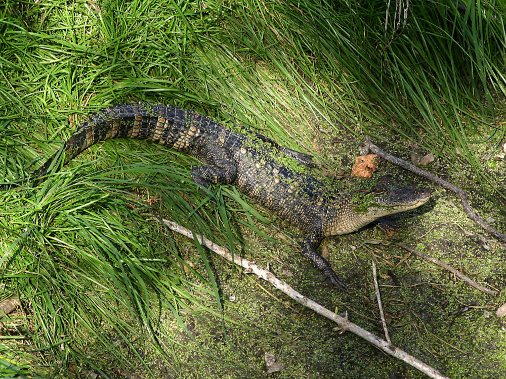 Alligator - Laguna Atascosa NWR