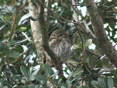 Ferruginous Pygmy-Owl - El Canelo - Raymondsville