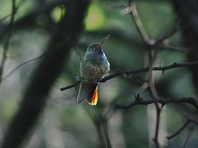 Buff-bellied Hummingbird - Valley Nature Center - Weslaco