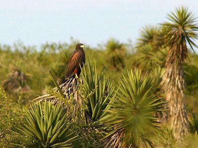 Harris's Hawk -Laguna Atascosa NWR