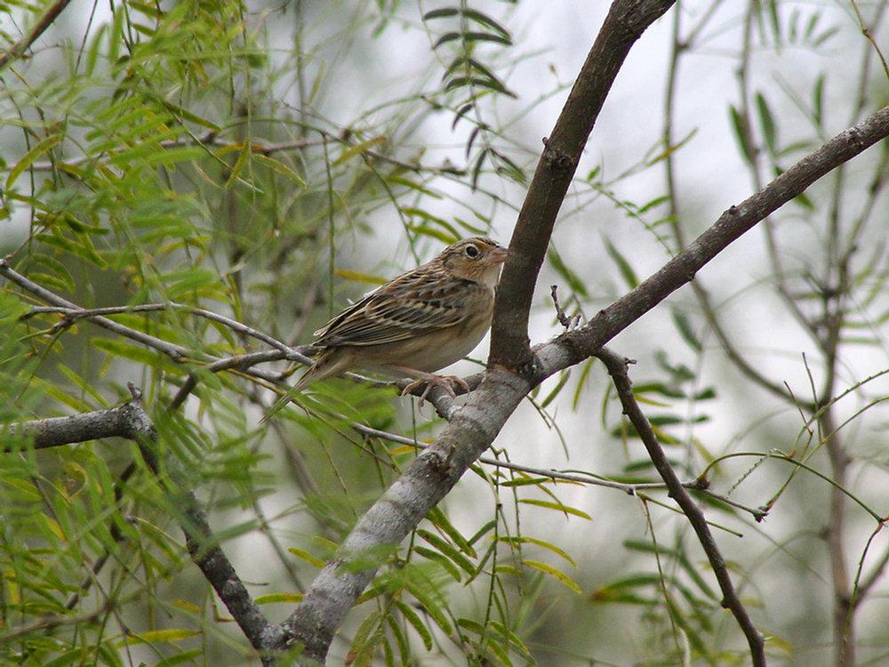 Grasshopper Sparrow - El Canelo Ranch - Raymondsville