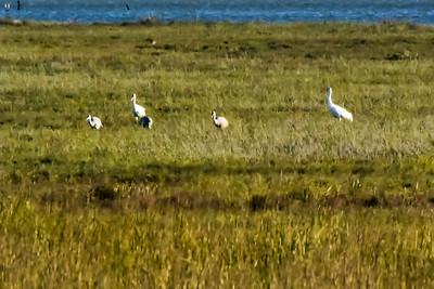 Whooping Crane & Sandhill Crane