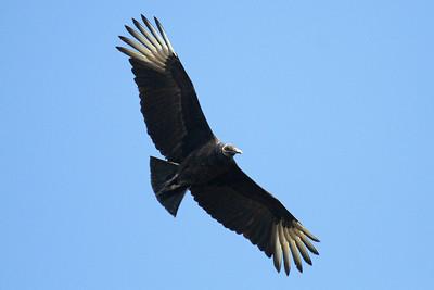 Black Vulture Goose Island State Park