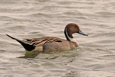 Northern Pintail Lamar Peninsula