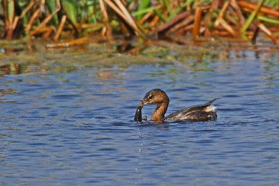 Pied-billed Grebe Lamar Peninsula