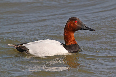 Canvasback Rockport
