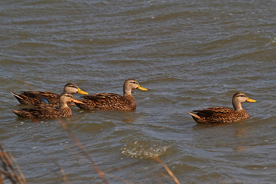Mottled Ducks Rockport