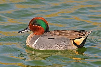 Green-winged Teal Port Aransas Birding Center