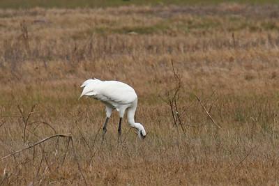 Whooping Cranes Lamar Peninsula
