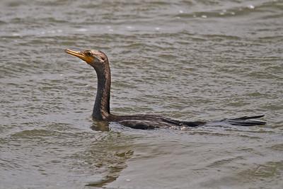 Neotropic Cormorant Lamar Peninsula