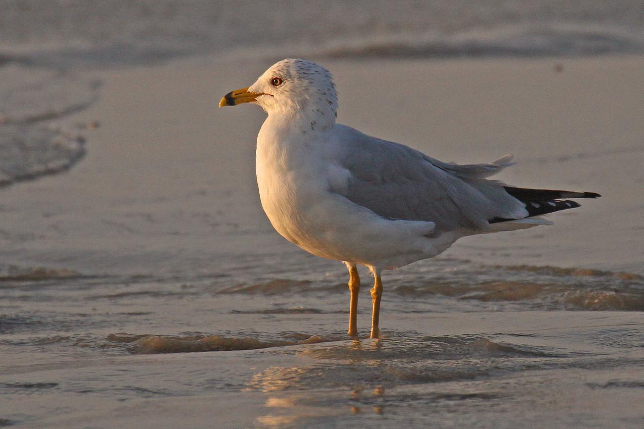 Ring-billed Gull Port Aransas Beach