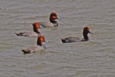 Redhead's Lamar Peninsula