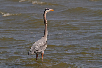 Great Blue Heron Rockport