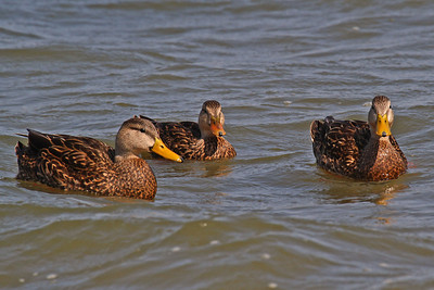 Mottled Duck's Rockport