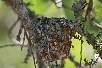Black-chinned Hummingbird Nest