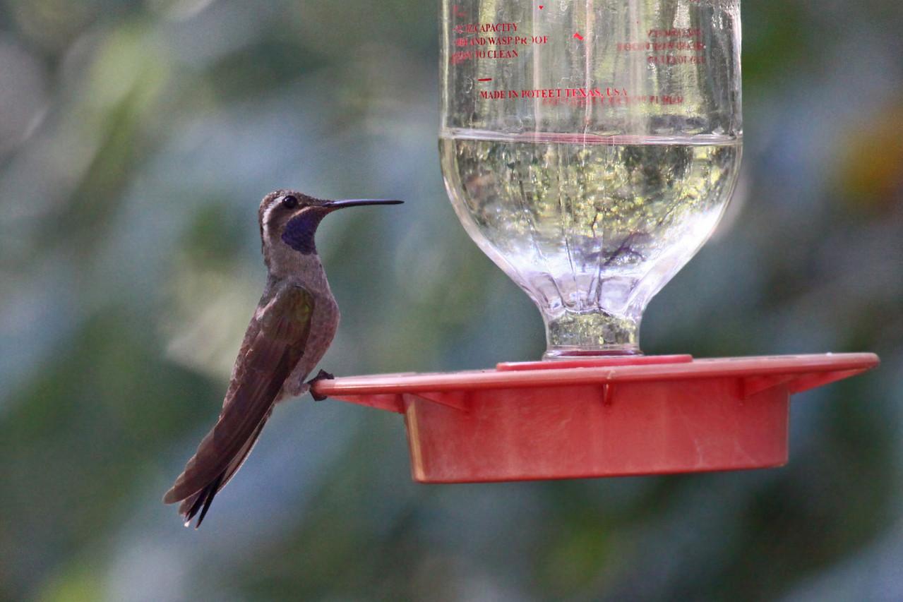 Blue-throated Hummingbird - Beatties Feeders, Miller Canyon