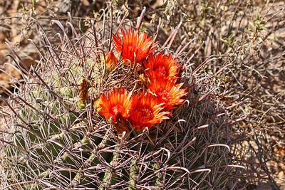 Blooming Cactus - Arizona-Sonora Desert Museum - Tucson