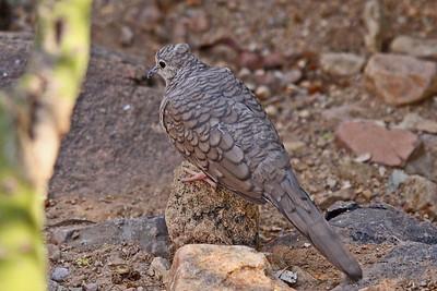 Inca Dove - Arizona-Sonora Desert Museum - Tucson