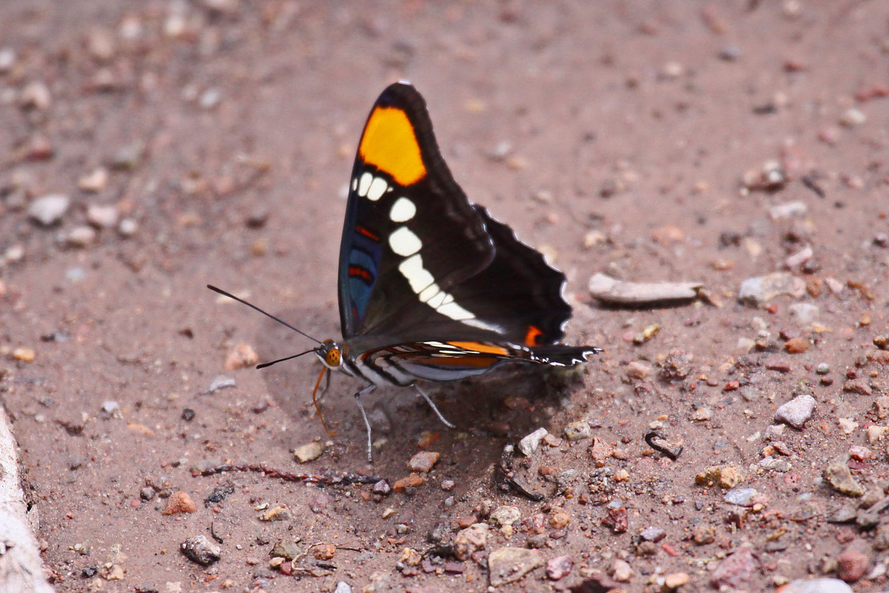 California Sister Butterfly - Garden Canyon in Fort Huachuca