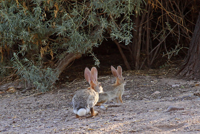 Desert Cottontail Rabbit -  - Sweetwater Wetlands - Tucson
