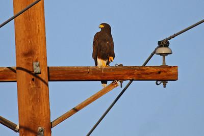 Harris's Hawk -  - Sweetwater Wetlands - Tucson