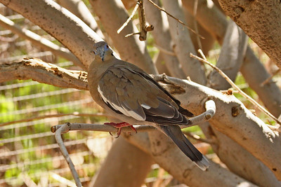 White-winged Dove - Arizona-Sonora Desert Museum
