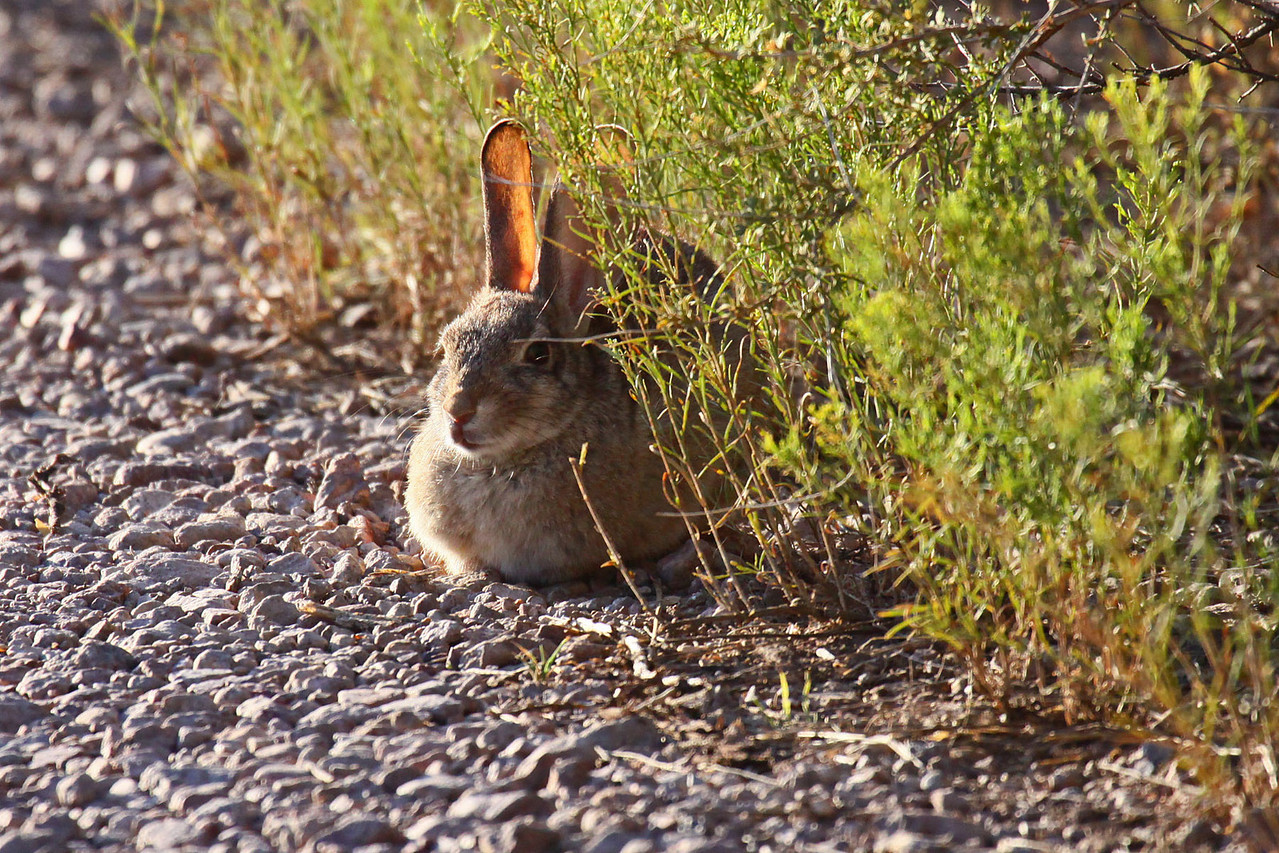 Desert Cottontail Rabbit - Jasper's Feeders