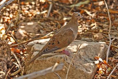 Mourning Dove - Arizona-Sonora Desert Museum