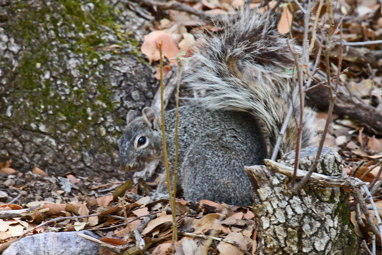 Rock Squirrel - Ramsey Canyon
