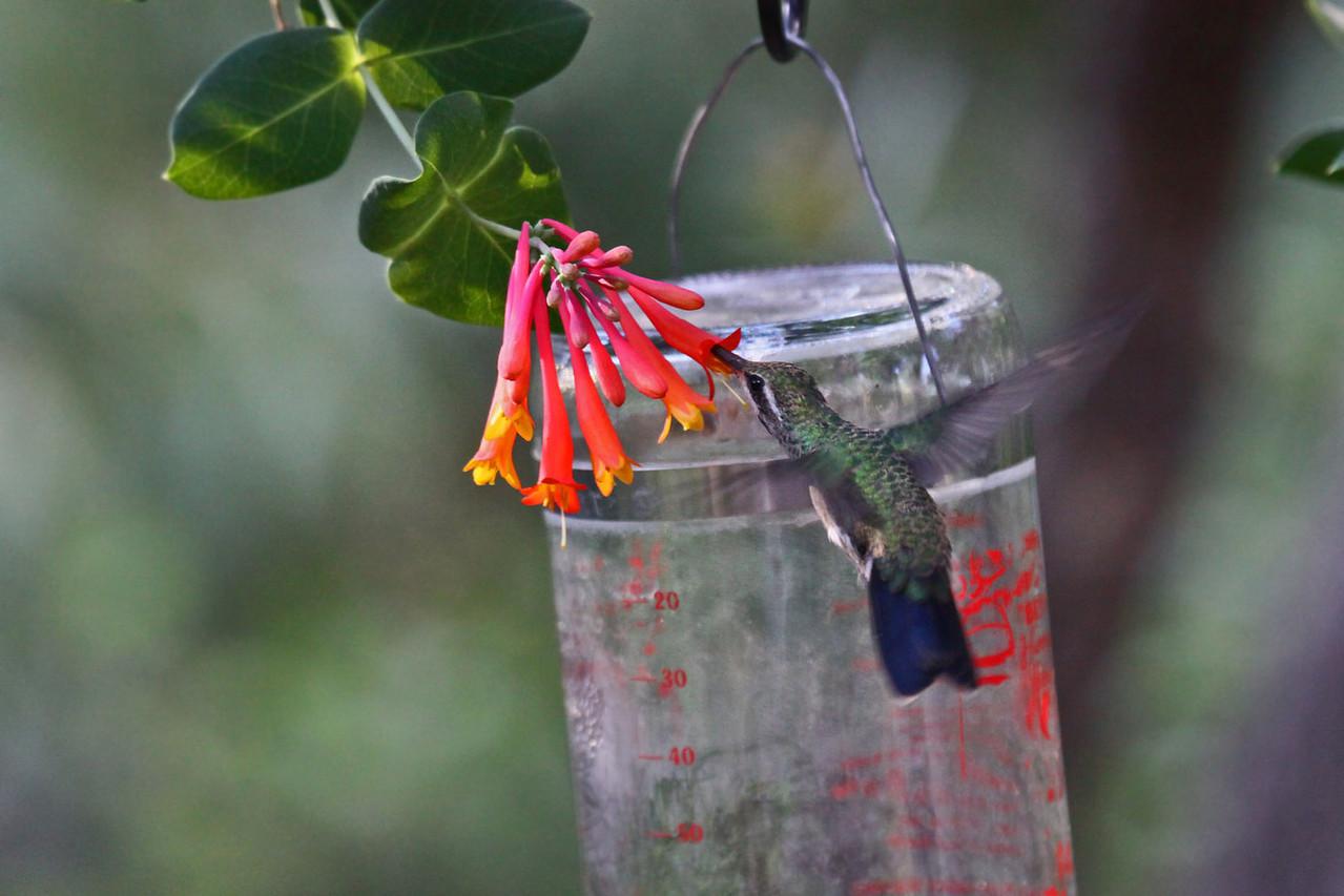 Broad-billed Hummingbird (F) - Beatties Feeders, Miller Canyon