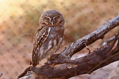 Elf Owl - Arizona-Sonora Desert Museum