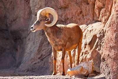 Desert Big Horned Sheep - Arizona-Sonora Desert Museum