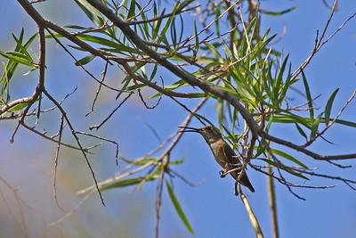 Costa's Hummingbird - Arizona-Sonora Desert Museum - Tucson