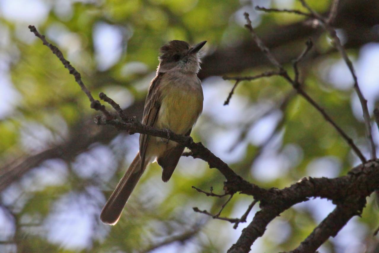 Dusky-capped Flycatcher - Miller Canyon