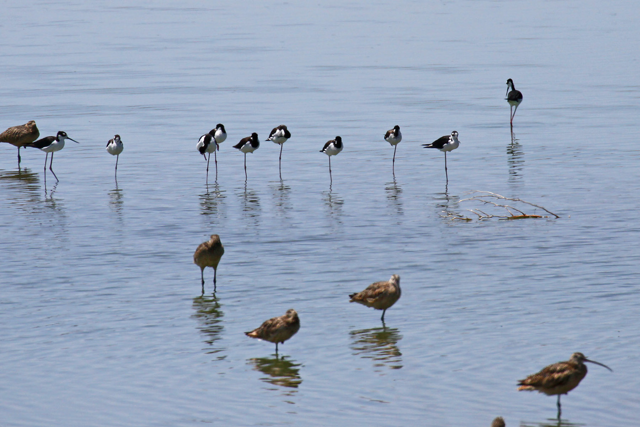 Black-necked Stilts & LB Curlews - Waste Water Treatment Lake - Willcox
