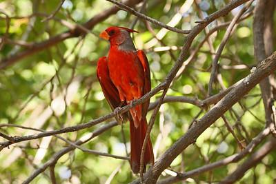 Cardinal / Pyrrhuloxia Cross - Arizona-Sonora Desert Museum