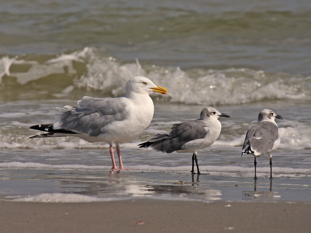 American Herring Gull with Laughing Gulls