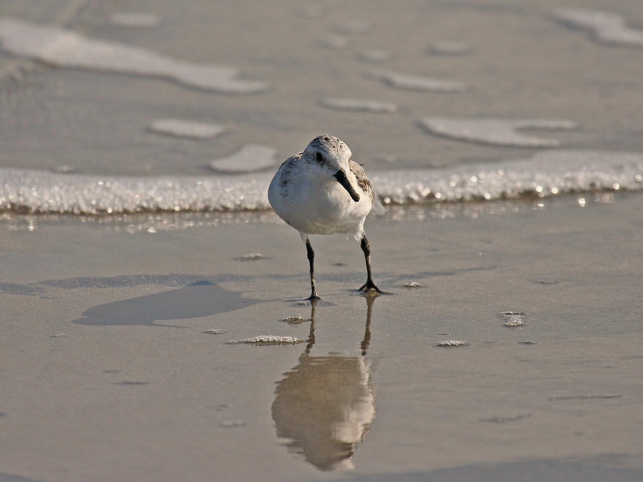 Sanderling - Juvenile