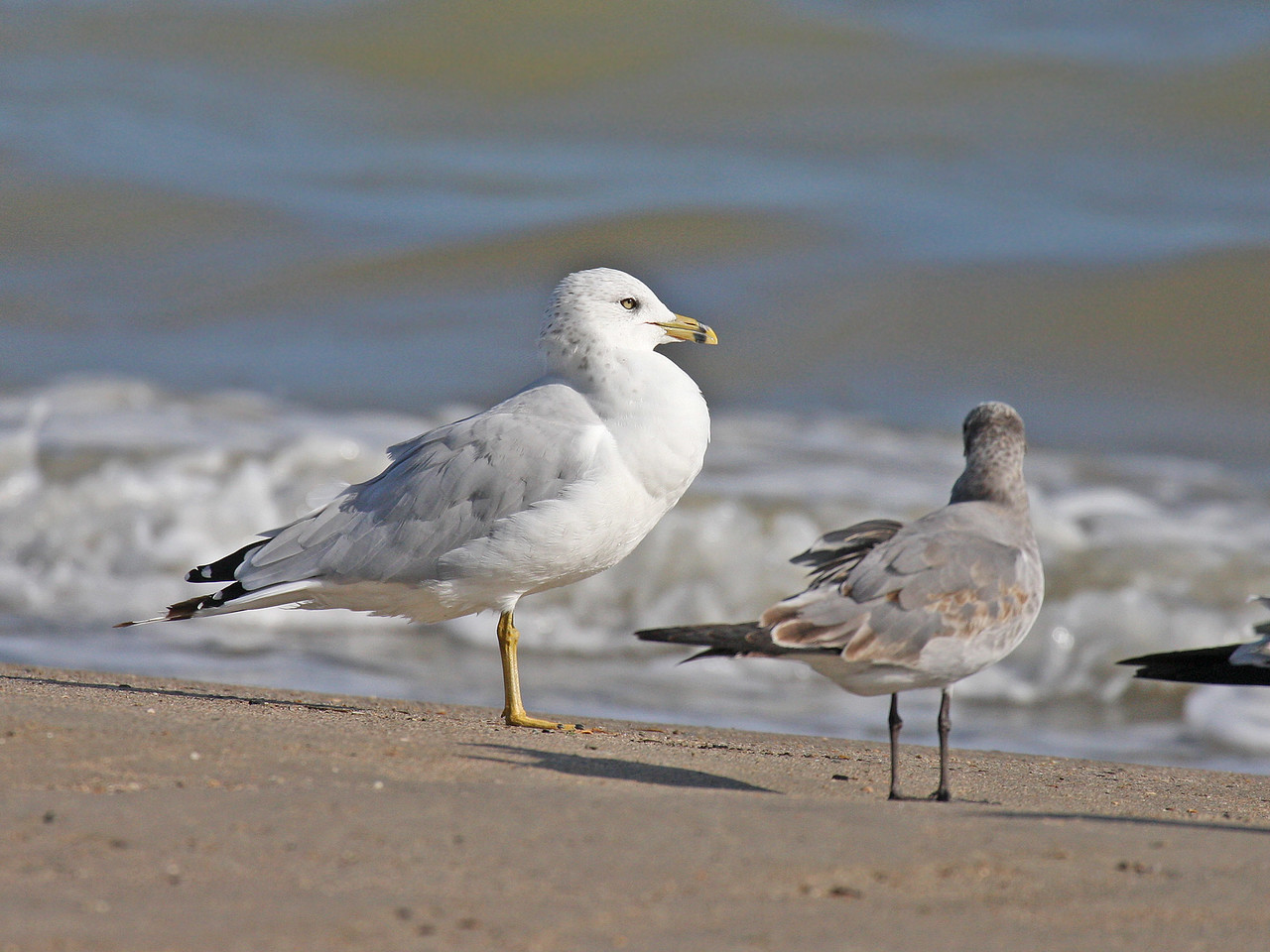 Ringed-billed Gull with Laughing Gull