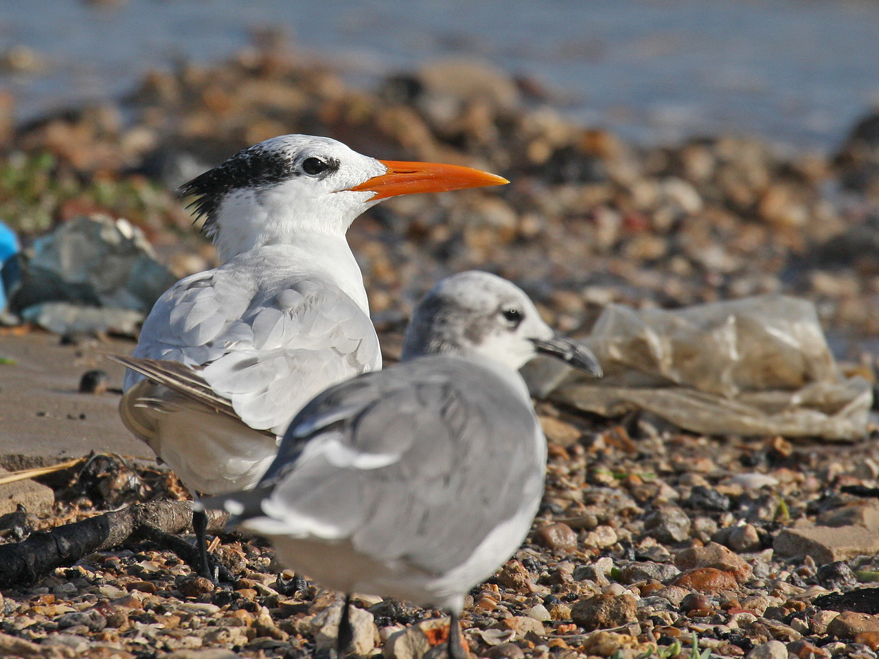 Royal Tern with Laughing Gull