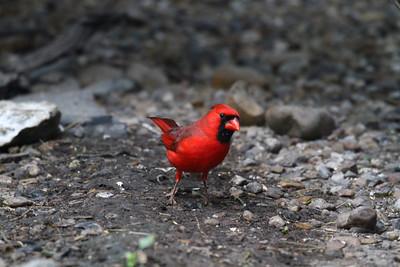 Northern Cardinal - Laguna Atascosa NWR
