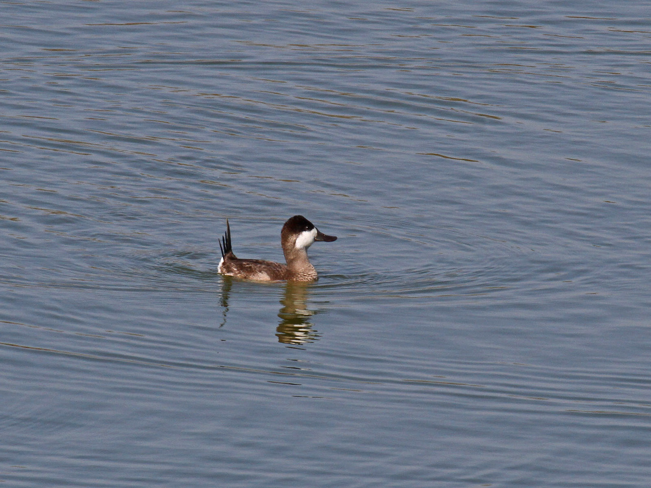 Ruddy Duck - Edinburg Scenic Wetlands
