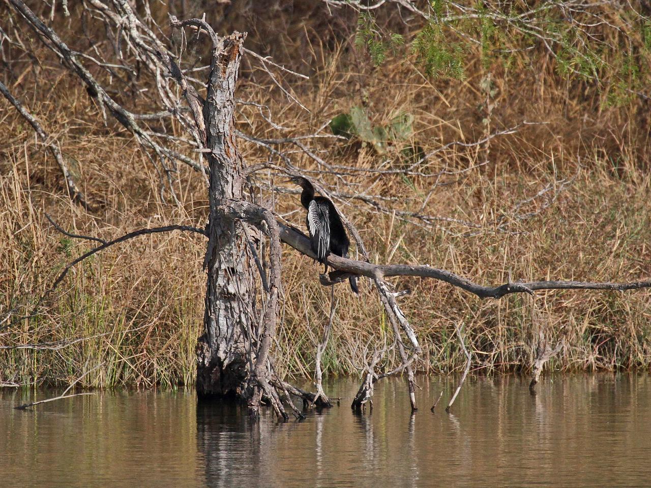 Anhinga - Estero Llano Grande State Park