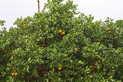 Orange Tree Grove