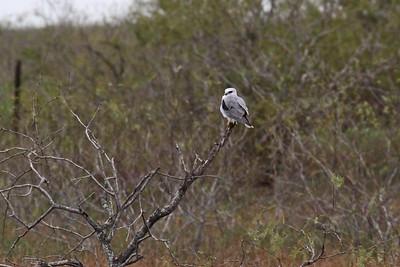 White-tailed Kite - Laguna Atascosa NWR