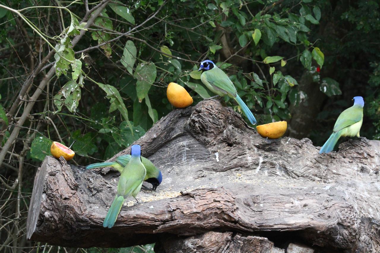 Green Jay - Laguna Atascosa NWR